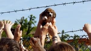 Un cuggiolo di beagle salvato a Greeen Hill