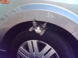 gatto-su-ruota