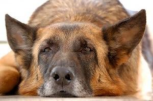 adotta un cane anziano o un veterano del canile