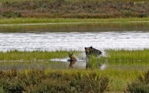 Un grizzly affamato dai disastri dei pescatori insegue un cucciolo di alce